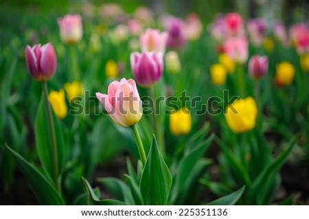 Beautiful tulips growing in the garden - stock photo