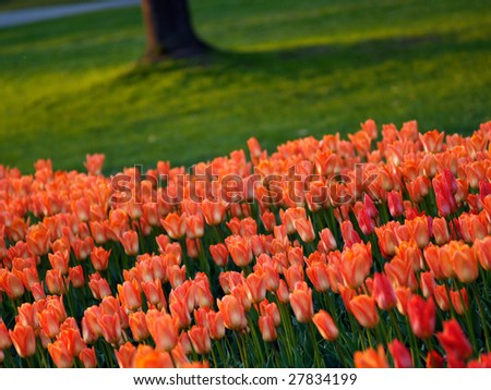 Beautiful tulips in spring - stock photo