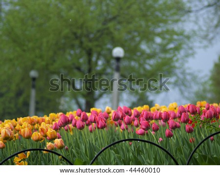 Beautiful tulips in the spring park