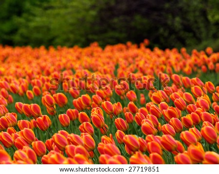 Beautiful tulips on Canadian Tulip Festival in Ottawa