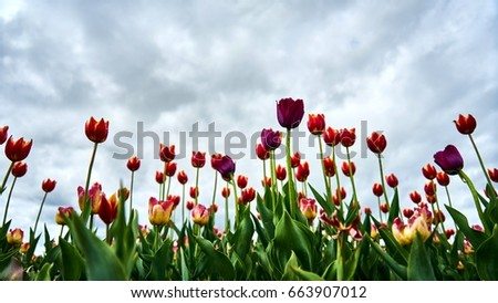 Beautiful tulips on cloudy sky background. Tomsk. Russia.