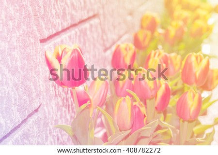 Beautiful tulips vivid flower on the wall background. abstract colourful tone. - stock photo