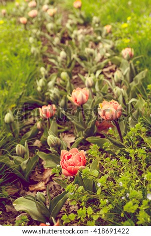 Beautiful tulips with bright accents. Color toning effect is applied.
