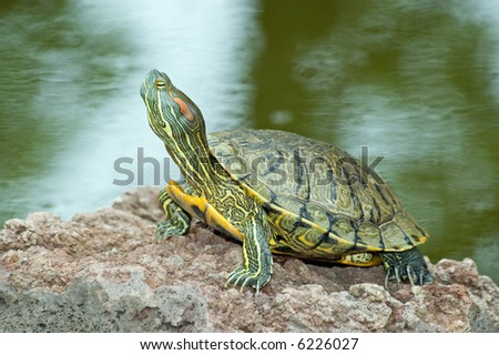 Beautiful turtle on the stone - stock photo