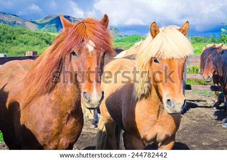 Beautiful two icelandic horses on a farm near Reykjavik, Iceland - stock photo