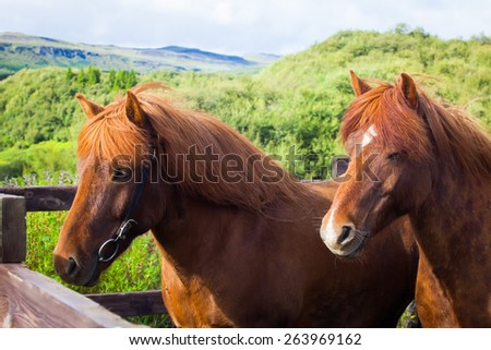 Beautiful two icelandic horses on a farm near Reykjavik, Iceland