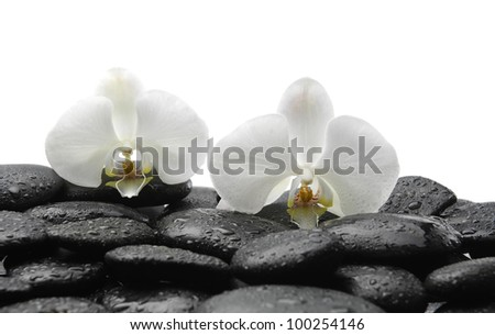 Beautiful two white orchid on wet zen stones