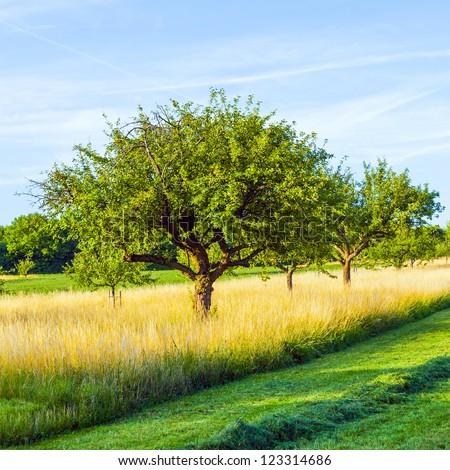 beautiful typical speierling apple tree in meadow for the german drink applewine - stock photo