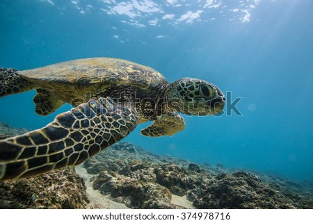 Beautiful Underwater Postcard. Hawaiian Sea Turtle aka Holu Floating Up And Over Coral reef with sunrays at the corner of image. Loggerhead in wild nature habitat