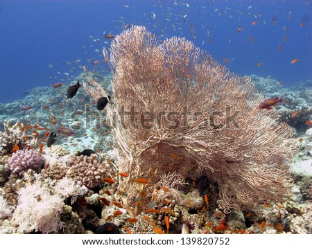 Beautiful underwater view with Gorgonia coral, shallow coral reef at the Red Sea - stock photo
