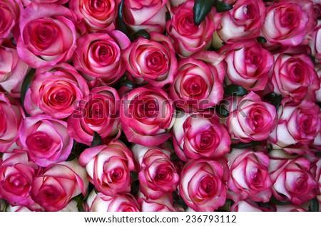 beautiful valentine pink rose flowers - stock photo