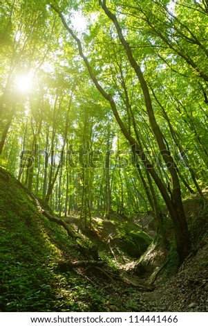 Beautiful valley in a  beech forest - stock photo