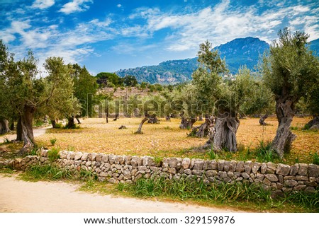 beautiful valley with old olive trees in Mallorca, Spain - stock photo