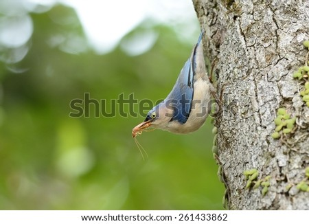 beautiful Velvet-fronted Nuthatch (Sitta frontalis) in Thai forest
