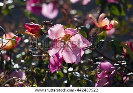 Beautiful very old  single pale and cerise pink heritage rose species in glorious  early winter  bloom adds scented beauty to an urban landscape. - stock photo