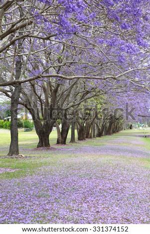 beautiful vibrant jacaranda trees in full bloom with purple flowers - stock photo