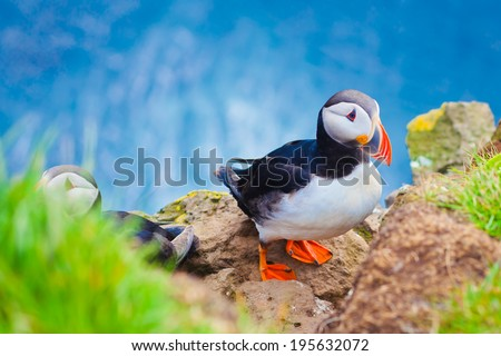 Beautiful vibrant picture of Atlantic Puffins on Latrabjarg cliffs - western-most part of Europe and Europe's largest bird cliff, Iceland  - stock photo