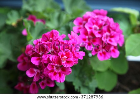 Beautiful vibrant pink Geranium flowers surrounded by green leaves - stock photo