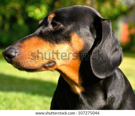 Beautiful view of the small black dachshund