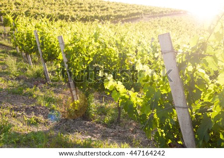 Beautiful vineyard at sunset