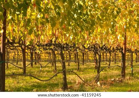 Beautiful Vineyard in Fall - stock photo