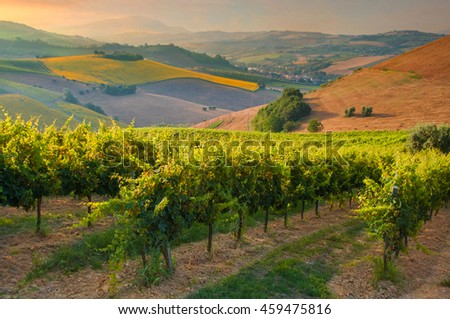 Beautiful vineyard on sunset