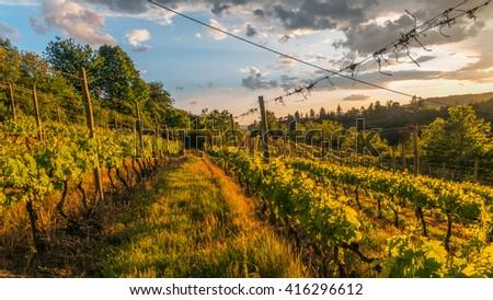 Beautiful vineyard with dramatic sky and rays of setting sun - stock photo