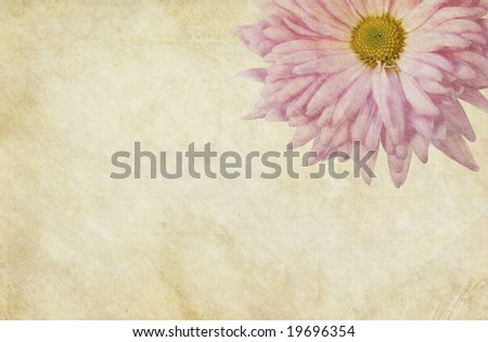 Beautiful vintage paper background with pink Chrysanthemum flower - stock photo