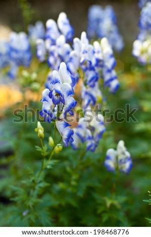 Beautiful violet and white flowering monkshood plants growing outdoors.