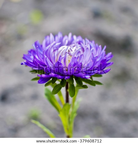 Beautiful violet Aster blooming in the garden. Selective focus and modern vintage effect - stock photo