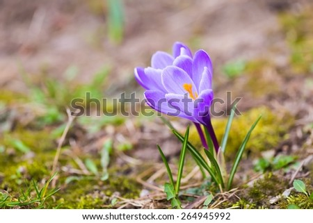 Beautiful violet crocuses flowers. First springtime flowers blooming. Early spring plants. - stock photo