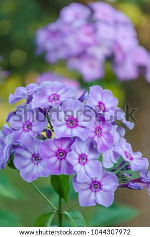 Beautiful violet flowers phlox flowers perennial stock photo beautiful violet flowers of phlox the flowers in the perennial garden friendly insects mightylinksfo Image collections