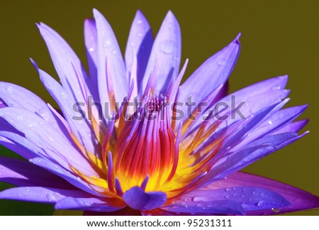 Beautiful violet lotus blossoming