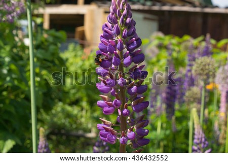 Beautiful violet lupine flowers growing in the garden in a middle of summer - stock photo