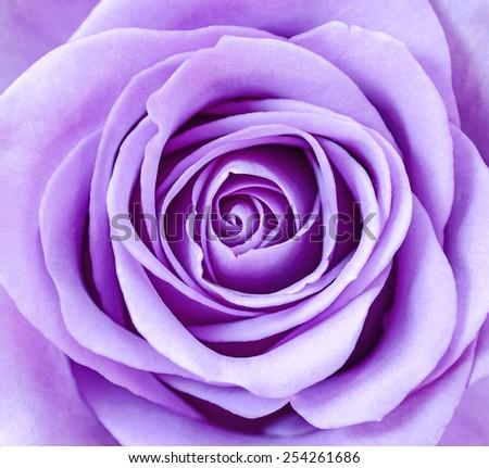 Beautiful Violet Rose petals close up. - stock photo