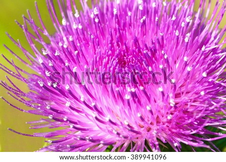 Beautiful violet thistle flower. Pink flowers of prickles of a burdock. Burdock thorny flower closeup. (Arctium lappa) on green blur background Shallow depth of field. - stock photo