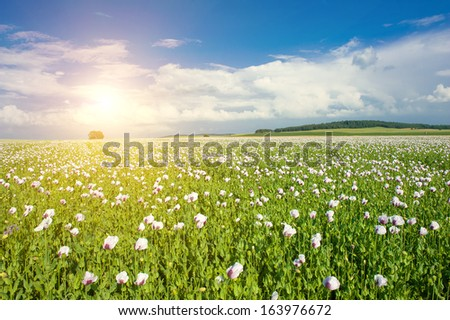 Beautiful vivid landscape with a sun shining over a field of white blooming poppy - stock photo