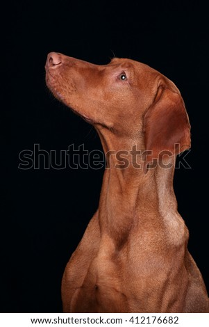 Beautiful Vizsla dog, portrait