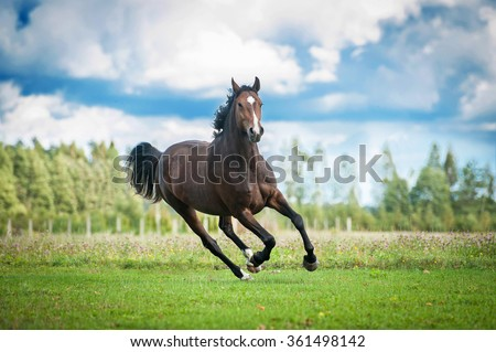 Beautiful warmblood horse running on the field in summer - stock photo