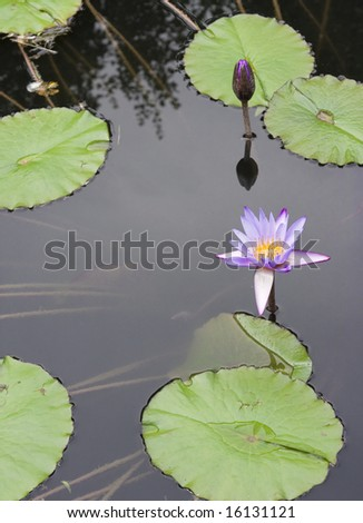 Beautiful Water Lilly - stock photo