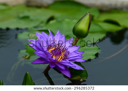 Beautiful water lilly