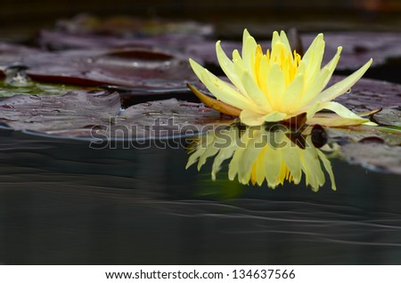 Beautiful  water lilly flower - stock photo