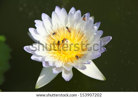 Beautiful  water lilly flower
