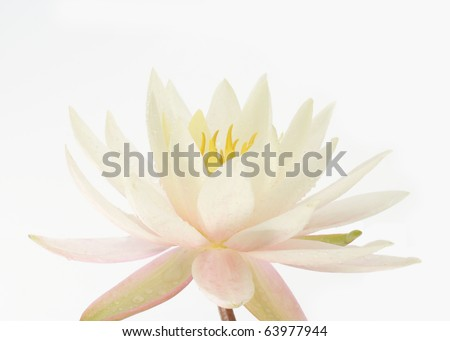 Beautiful water lily close-up - stock photo