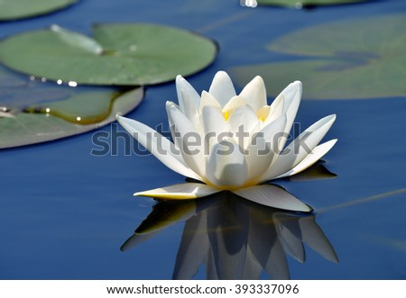 Beautiful water lily in a lake with a blue, clear water - stock photo