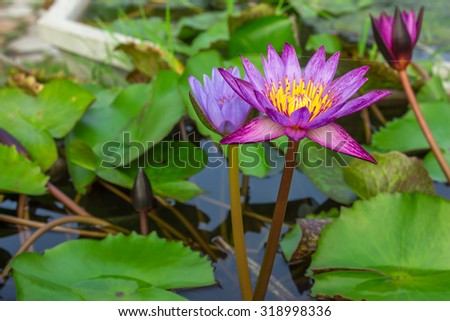 beautiful water lily lotus flower on Pond  - stock photo