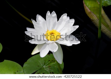 Beautiful water lily or lotus flower in pond - stock photo