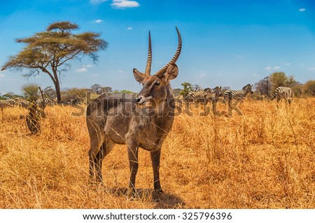 Beautiful Waterbuck with zebras grazing in the background at Serengeti National Park, Tanzania - stock photo