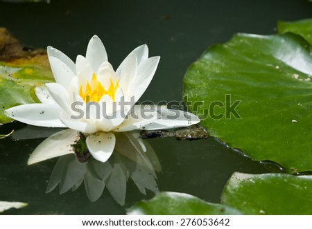 Beautiful waterlily on reflection water - stock photo