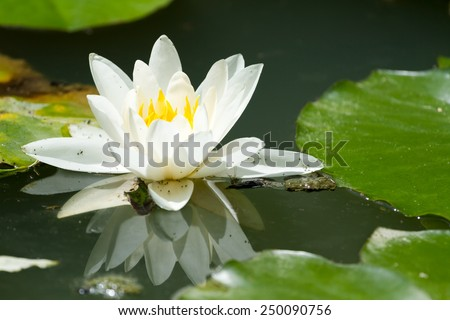 Beautiful waterlily on reflection water in France - stock photo